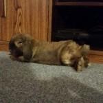 indoor bunny, rabbit indoors