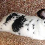indoor bunny